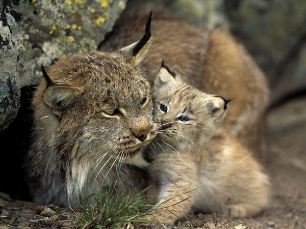 The Big Cats_5 - &nbsp; - , The, Big, Cats_5 - Play puzzles with The Big Cats_5 or send The Big Cats_5 puzzle ecards to your friends </td><td valign=