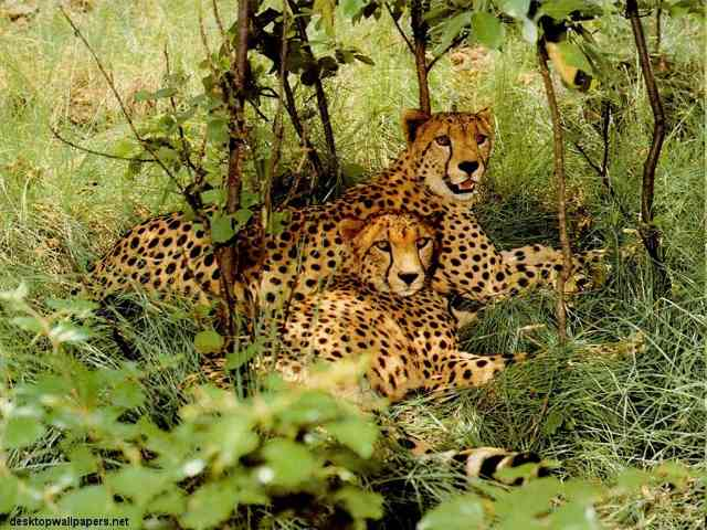 Cheetah - Cheetah - , Cheetah, animals, wild - Play puzzles with Cheetah or send Cheetah puzzle ecards to your friends </td><td valign=