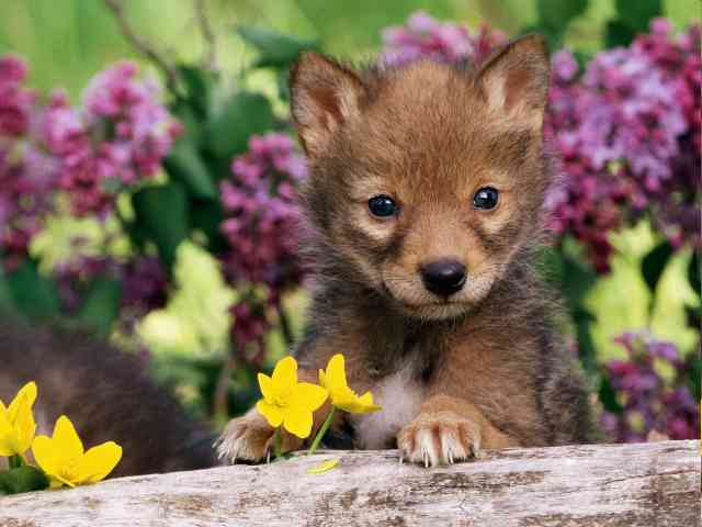 Coyote Pup - Coyote Pup - how all little babies are nice ... even if it is Coyote. - , Coyote, Pup, babies, baby, animal, animals, wild - Play puzzles with Coyote Pup or send Coyote Pup puzzle ecards to your friends </td><td valign=