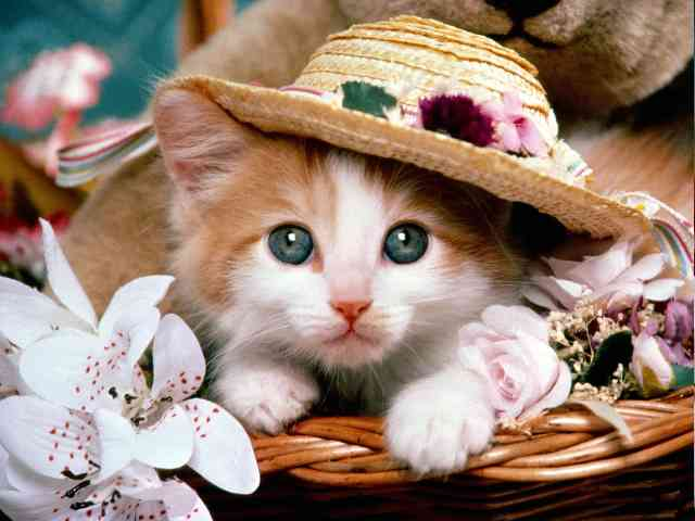 Kitten and Hat - Beautifull Kitten with Hat - , Kitten, Hat, cat, animal, animals - Play puzzles with Kitten and Hat or send Kitten and Hat puzzle ecards to your friends </td><td valign=