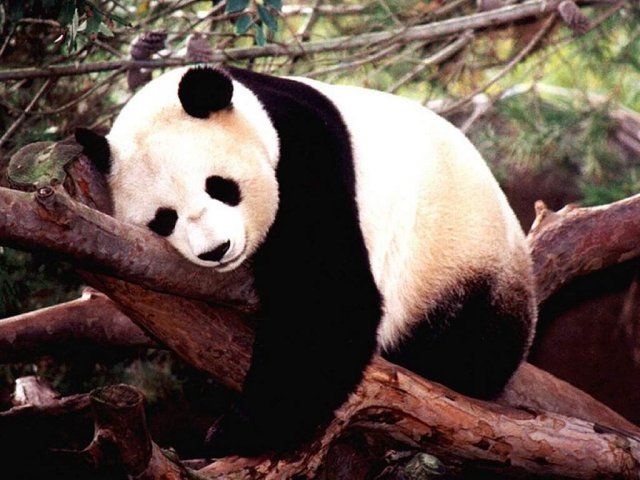 Panda on tree - Panda on tree - , Panda, on, tree - Play puzzles with Panda on tree or send Panda on tree puzzle ecards to your friends </td><td valign=