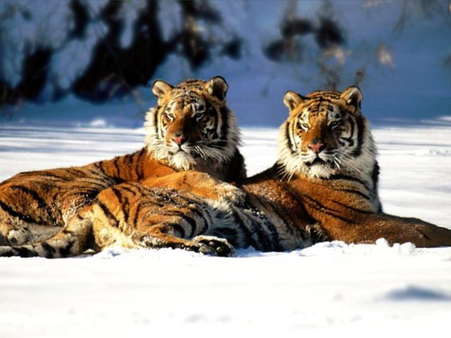 Siberian tigers - The Siberian tiger (Panthera tigris altaica), also known as the Amur tiger, is a tiger subspecies inhabiting mainly the Sikhote Alin mountain region with a small subpopulation in southwest Primorye province in the Russian Far East. In 2005, there were 331–393 adult-subadult Amur tigers in this region, with a breeding adult population of about 250 individuals. The population has been stable for more than a decade due to intensive conservation efforts, but partial surveys conducted after 2005 indicate that the Russian tiger population is declining. - , Animals, Siberian, tiger, Amur, Panthera, tigris, altaica - Play puzzles with Siberian tigers or send Siberian tigers puzzle ecards to your friends </td><td valign=