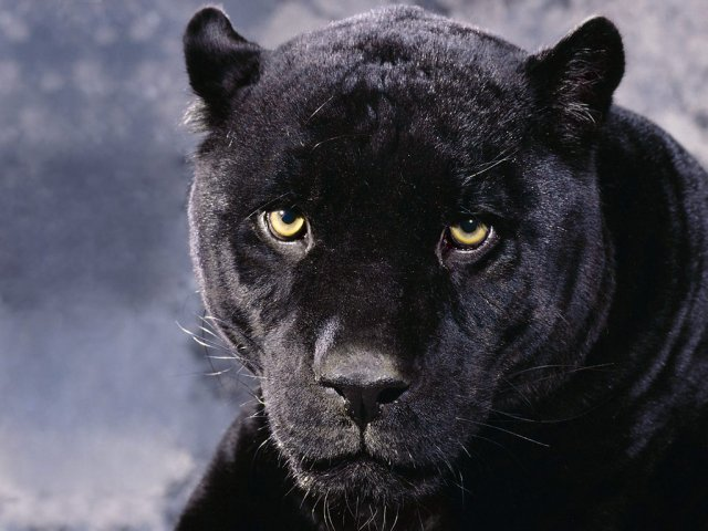 Black Panther - Black Panther - , Black, Panther - Play puzzles with Black Panther or send Black Panther puzzle ecards to your friends from puzzles-gallery.com! You can make your own puzzle, too..Black Panther puzzle, puzzles, puzzles gallery, puzzle gallery, online puzzle gallery, puzzles-gallery.com, jigsaw puzzles, Black Panther jigsaw puzzle, free puzzle games, free online puzzle games, Black Panther free puzzle , Black Panther online puzzle , jigsaw puzzle games, jigsaw puzzles games, Black Panther puzzle ecard, Black Panther puzzles ecards