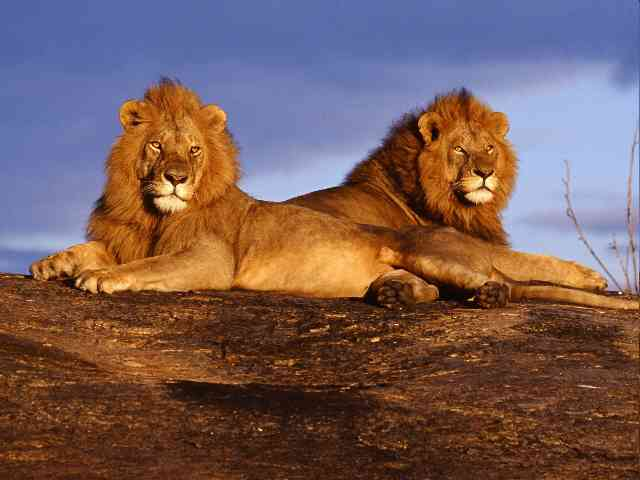 Awesome Lions - Awesome Lions relaxing - , Lions, lion, wild, animal, animals - Play puzzles with Awesome Lions or send Awesome Lions puzzle ecards to your friends </td><td valign=