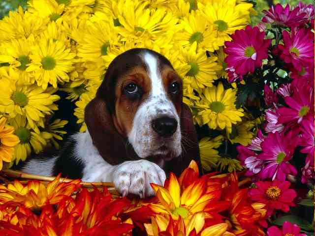 Dachshund in flowers - Dachshund in beautiful flowers - , Dachshund, flowers, dog, dogs, animal, animals, flower - Play puzzles with Dachshund in flowers or send Dachshund in flowers puzzle ecards to your friends </td><td valign=