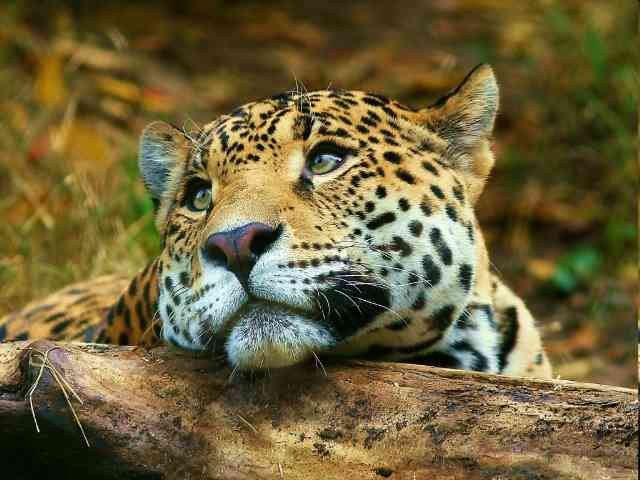 Dreaming Leopard - Dreaming Leopard after lunch - , Leopard, animal, animals, wild - Play puzzles with Dreaming Leopard or send Dreaming Leopard puzzle ecards to your friends </td><td valign=