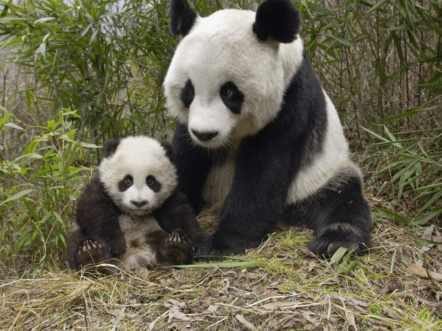 Giant Panda Mother And Cub Molong -  China - Giant Panda Mother And Cub Molong -  China - , Giant, Panda, Mother, Cub, Molong, China, animal, animals, bear - Play puzzles with Giant Panda Mother And Cub Molong -  China or send Giant Panda Mother And Cub Molong -  China puzzle ecards to your friends </td><td valign=