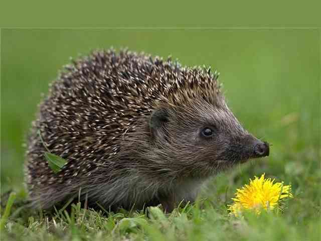 Hedgehog and flower - Hedgehog and flower - , Hedgehog, flower, animal, animals - Play puzzles with Hedgehog and flower or send Hedgehog and flower puzzle ecards to your friends </td><td valign=