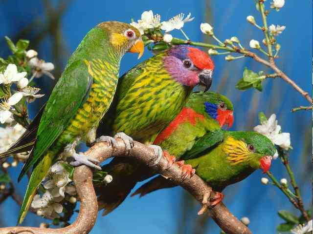 Parrots - Parrots - beautifull and nice! - , Parrots, bird, birds, animal, animals - Play puzzles with Parrots or send Parrots puzzle ecards to your friends </td><td valign=