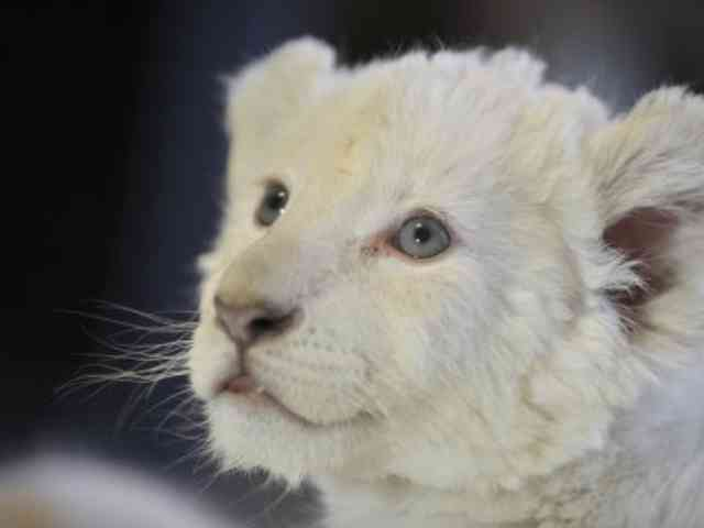 White Lion Cub Albino - Four White Lion Cubes Albino were born in March 2010 in Schloss Holte-Stukenbrock town Zoo, Germany. - , White, Lion, Cubes, Albino, Schloss, Holte-Stukenbrock, Zoo, Germany - Play puzzles with White Lion Cub Albino or send White Lion Cub Albino puzzle ecards to your friends </td><td valign=