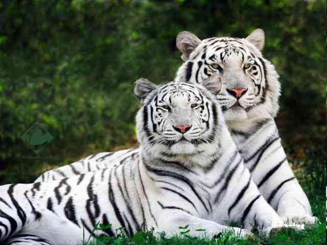 White Tigers - White Tigers - , White, Tigers, animals - Play puzzles with White Tigers or send White Tigers puzzle ecards to your friends </td><td valign=