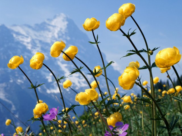 Alpine Flowers - Nice Alpine Flowers - , Alpine, Flowers - Play puzzles with Alpine Flowers or send Alpine Flowers puzzle ecards to your friends </td><td valign=
