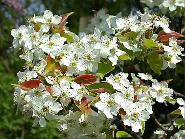 Asian Pear - Asian Pear blooming in spring - , Asian, Pear, blooming, spring, flower - Play puzzles with Asian Pear or send Asian Pear puzzle ecards to your friends </td><td valign=