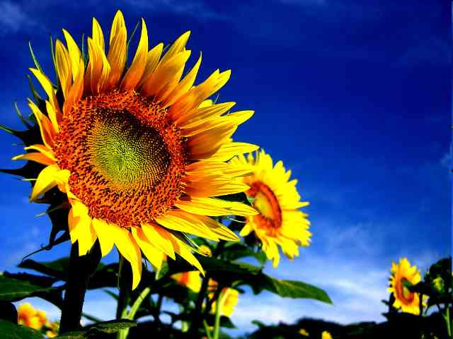 Sunflowers - Sunflowers - , Sunflowers - Play puzzles with Sunflowers or send Sunflowers puzzle ecards to your friends </td><td valign=