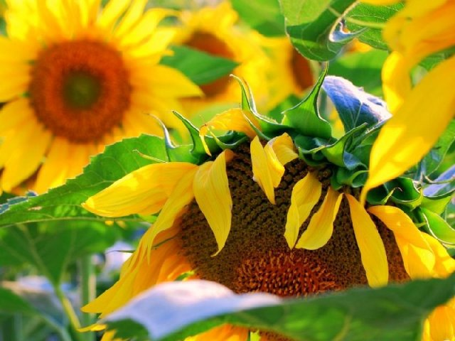 Sunflower - Sunflower - , Flowers, Sunflower - Play puzzles with Sunflower or send Sunflower puzzle ecards to your friends </td><td valign=