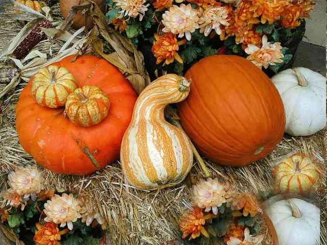 Thanksgiving Pumpkins and Flowers - Nice Thanksgiving Pumpkins and Flowers picture - , Thanksgiving, Pumpkins, Flowers, holidays, greeting, greetings, ecard, ecards - Play puzzles with Thanksgiving Pumpkins and Flowers or send Thanksgiving Pumpkins and Flowers puzzle ecards to your friends </td><td valign=