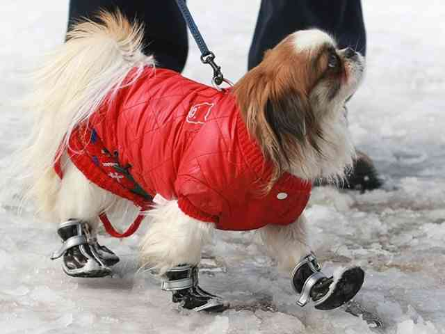 Dog in Boots - Dog in Boots - a nice Pekingese walking proud with its boots - , Dog, Boots, Pekingese - Play puzzles with Dog in Boots or send Dog in Boots puzzle ecards to your friends </td><td valign=