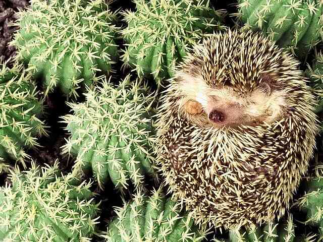 Hedgehog - Hedgehog and cactus - , Hedgehog, animal, animals, cactus - Play puzzles with Hedgehog or send Hedgehog puzzle ecards to your friends </td><td valign=